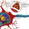 Een synaps is een verbinding tussen twee neuronen. BDNF speelt een rol bij de vorming van nieuwe synapsen.